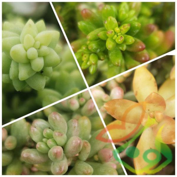 انواع گیاه سدوم