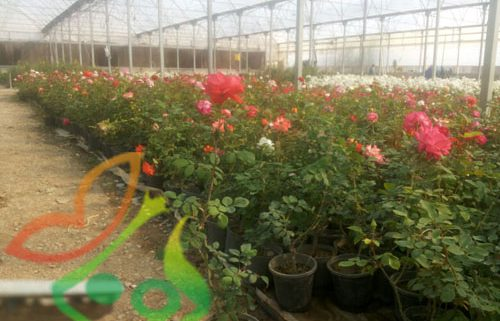 خرید گل رز گلدانی