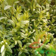 فروش نشا گیاهان دارویی