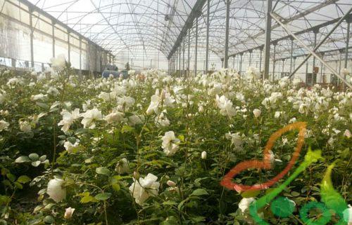 فروش گل رز گلدانی