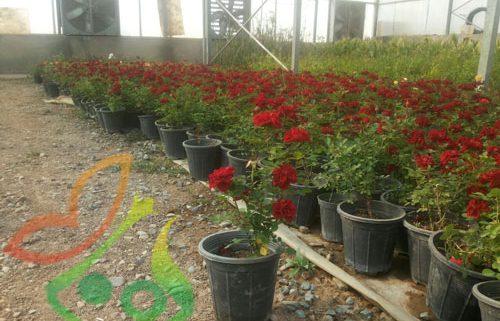 قیمت گل رز هلندی