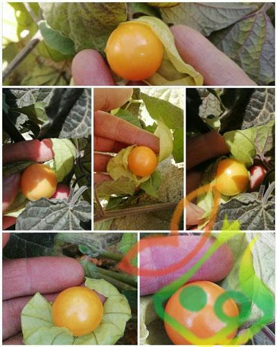 گیاه فیسالیس