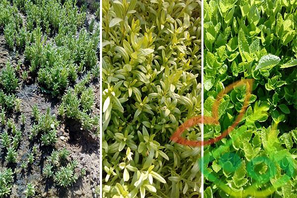 نشا انواع گیاهان دارویی