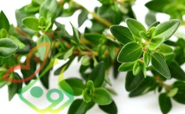 گیاه دارویی آویشن