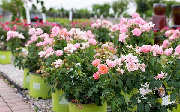 انواع گل زینتی