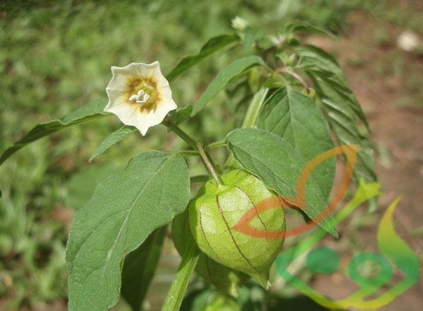 بذر گیاه فیسالیس