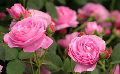 قیمت گل رز گلدانی