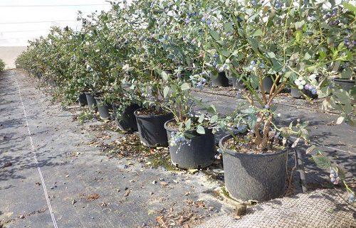 نهال بلوبری گلدانی