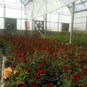 پخش گل رز گلدانی