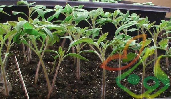 کاشت گیاه فیسالیس