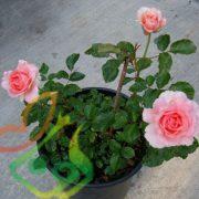 گل رز گلدانی