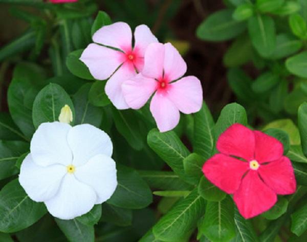انواع گل پریوش