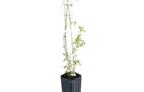 خرید درخت گوجی بری