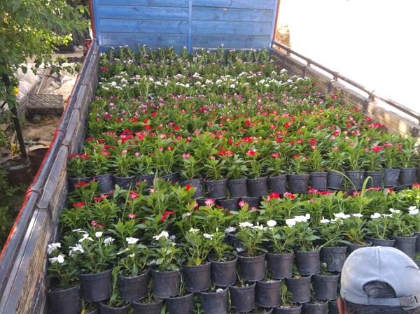 سفارش خرید گل پریوش