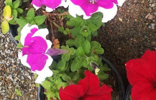 فروش گل اطلسی