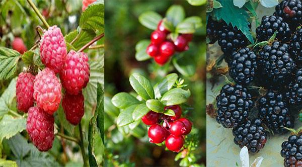 نهال درخت میوه سردسیری