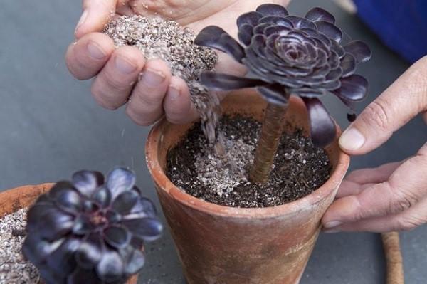 نگهداری گل آئونیوم