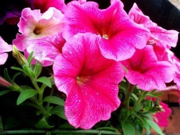 گل فصلی اطلسی