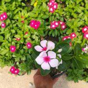 گل فصلی پریوش