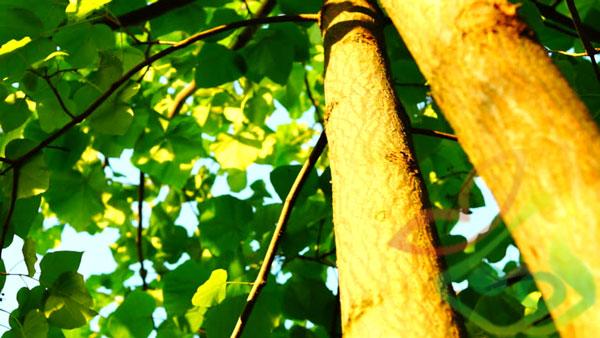 انواع درخت پالونیا