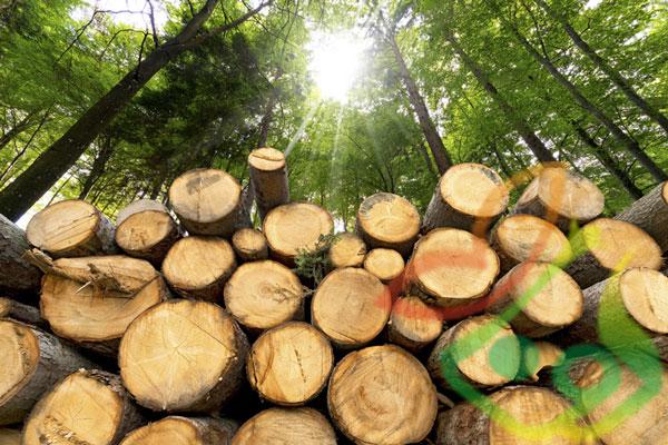 زراعت چوب پالونیا