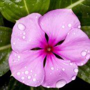 فروش گل پریوش