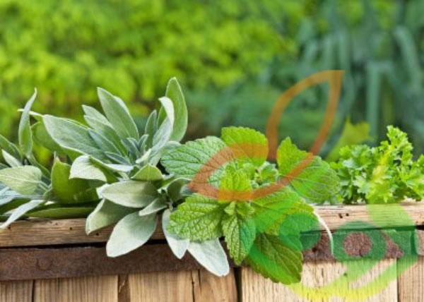 گیاه دارویی بادرنجبویه