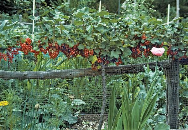 احداث باغ رد کارنت