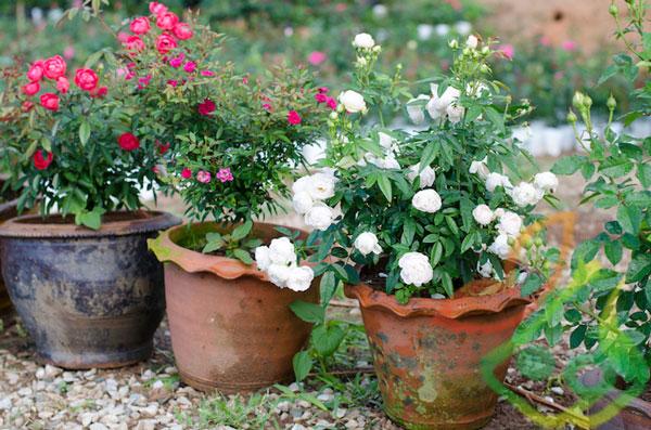 انواع گل رز گلدانی