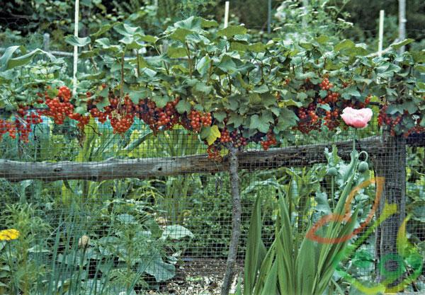 احداث باغ میوه رد کارنت