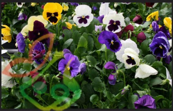 خرید بذر گل فصلی