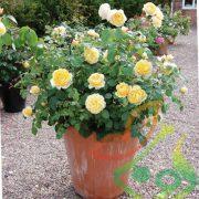 سفارش گل رز گلدانی