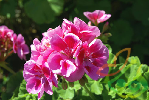 فروش عمده گل شمعدانی