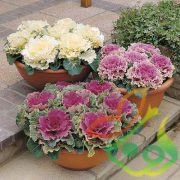 فروش گل کلم زینتی