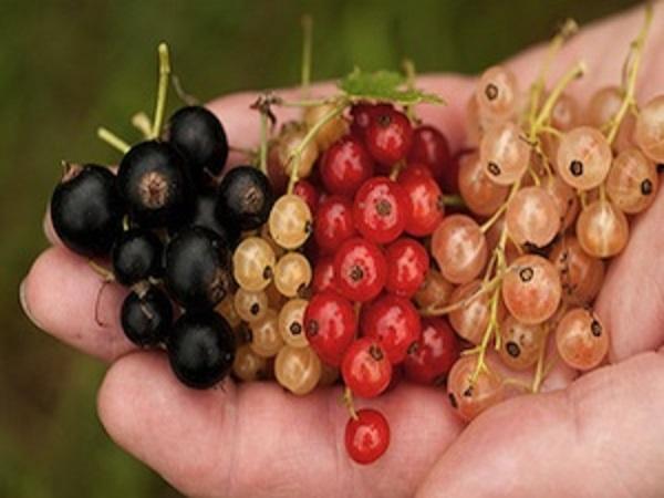 برداشت میوه رد کارنت