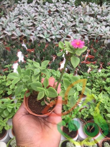 انواع گل ناز