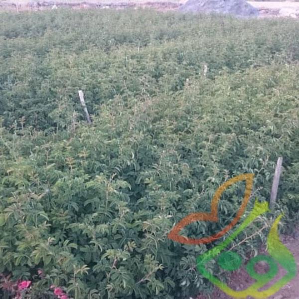 تولید نهال گل محمدی