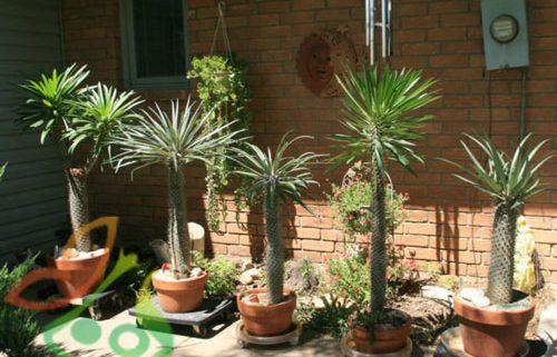 قیمت گیاه نخل ماداگاسکار