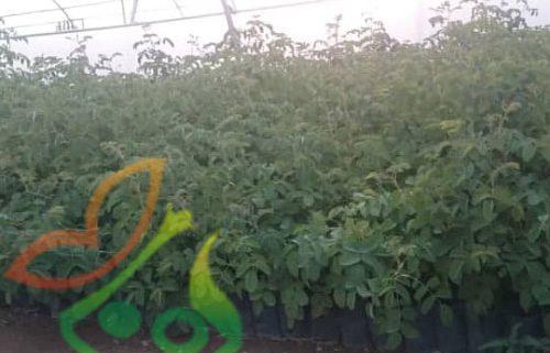 نهال گل محمدی گلدانی