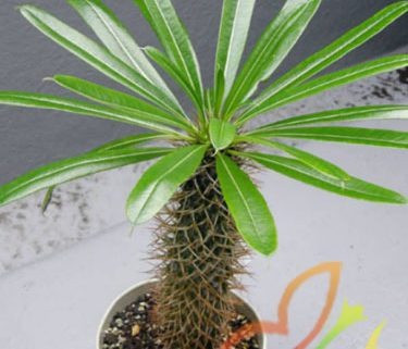 درخت نخل ماداگاسکار