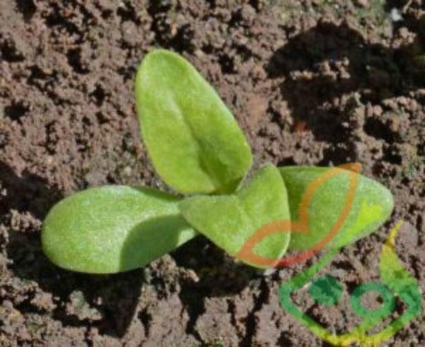 کاشت بذر همیشه بهار