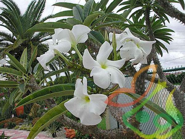 درخت پالم ماداگاسکار