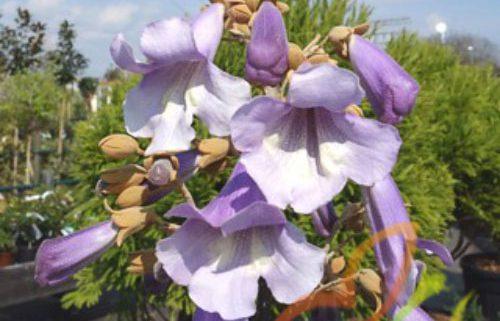 درخت پالونیا قزوین