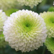گل داوودی پرپر