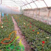 خرید گل ژربرا