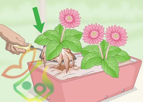 نگهداری گل ژربرا