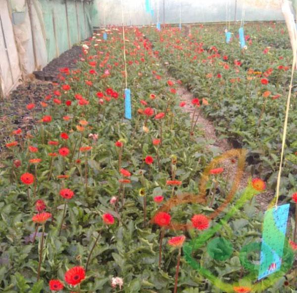 گل زینتی ژربرا